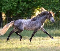 Looking for your perfect horse? Discover horses for sale from trusted sellers. Every horse listed, helps one in need. Andalusian Horse, Friesian Horse, Arabian Horses, Palomino, Equine Photography, Animal Photography, Alter Real, Horse Classifieds, Black Horses