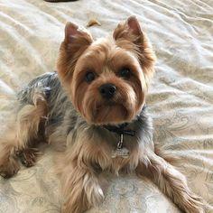 #Repost @samiandsera Freshly groomed and smelling beautiful #yorkies #yorkshireterriers #yorkiesofficial #instapets #yorkielove #insta_dogs #instadog #puppies #dogs #yourdailypets #yorkiegram101 #instayorkie #dogsofinstagram #dogsofnyc #nyc #nycdogs #dogpicoftheday #yorkietown #yorkiesarethebest #yorkieloversworldwide #yorkiesofig #yorkiesofinstagram #instayorkies #puppiesofinstagram #yorkie_feature #yorkiefamous #yorkiesofnyc #hobokendogs
