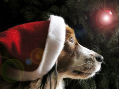Letter to Santa, from a shelter dog