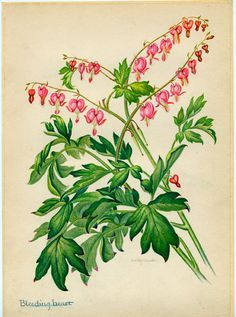 Bleeding Heart Vintage Illustration by Edith Johnston from A Book Of Garden  Flowers
