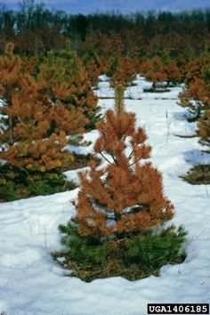 What Is Winter Burn: How To Care For Winter Burn In Evergreens