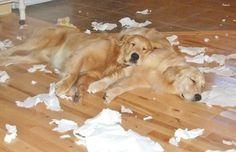 """""""Golden Aftermath"""" Too funny! This is sooo our puppies! Cute Puppies, Cute Dogs, Dogs And Puppies, Doggies, Animals And Pets, Cute Animals, Dog Rules, Golden Dog, Dog Life"""