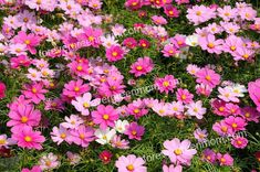 field of pink Cosmos flowers Amazing Flowers, Colorful Flowers, Beautiful Flowers, Summer Blooming Flowers, Spring Flowers, Cosmos Flowers, Water Flowers, Zinnias, Daffodils