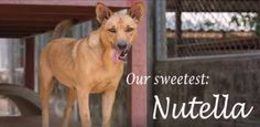 I am a lovely lady called Nutella. I had an owner once but one day he decided he no longer wanted me. He drove somewhere far away from home and threw me out of the car and didn't look back once. I was so scared. A kind person saw me being dumped, scooped me up and brought me the Soi Dog shelter, here in Phuket, Thailand. https://www.facebook.com/SoiDogPageInEnglish/videos/1705062966202098/