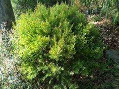 Acacia fimbriata 'Dwarf form'. Beautiful shape and foliage.