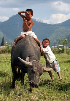 Aceh.Sumatra, Indonesia (travel photography, kids, ox, playing, beautiful, photo, picture, photograph, people, children)