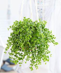 Převislá rostlina 'Isabelle'
