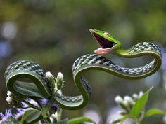 Cobra Cipó .