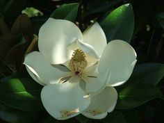 Picture of Magnolia Flower. Thinking bout getting this added to my sleeve!!