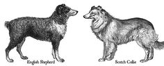 THERE, SOMEONE SAID IT OUT LOUD!!    The English Shepherd, Aussie, and other farm collies, are all from the same original broad gene pool,