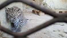 URGENT SOS! YEMEN ZOO ANIMALS IN HORRIFYING DISTRESS!  SOS Zoo & Bear Rescue and A Lion's Heart are continuing to work hard to save the animals at Taiz Zoo but they need HELP!  Please DONATE and/or SHARE WIDELY!  Thank you!  DONATE HERE: https://www.generosity.com/animal-pet-fundraising/help-starving-animals-in-taiz-zoo-yemen-now