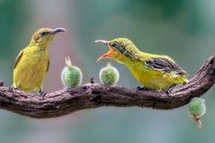 The olive-backed sunbird (Cinnyris jugularis), also known as the yellow-bellied sunbird, is a species of sunbird found from Southern Asia to Australia  By Roy H  on yourshot.nationalgeographic.com