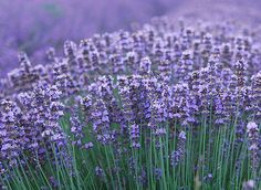 Photo about Macro of lavender plant. herbal landscape of aromatic plant. Image of agriculture, nature, ingredient - 6944374 Lavender Uses, Lavender Fields, Lavander, Plant Images, Garden Care, My Secret Garden, Autumn Garden, Planting Seeds, Macro Photography