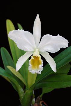 Cattleya percivaliana 'Alba'