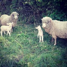 #romneymarshwools #lambs #merino