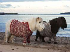 La Fashion Week, ce n'est pas qu'à Paris, Milan ou New York. Visez les pulls sur-mesure revêtus par ces deux poneys Shetland qui posent, le 25 janvier sur une plage d'Ecosse. Ambassadeurs de l'Année de l'Ecosse Nature 2013, les deux minuscules équidés por