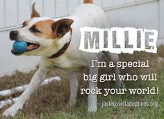 Today's featured Terrier mix rescue for adoption, foster or sponsorship - Millie!