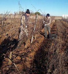Margón recoge en pleno invierno mil kilos de uva de la variedad Verdejo para la elaboración de un vino blanco dulce único en la zona de producción