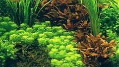 Carpet aquarium plants http://www.ebay.co.uk/itm/Carpeting-aquarium-plants-tropical-tank-fish-moss-nano-aquascaping-/371773808035?var=640748045272&hash=item568f721da3:m:m17yKQvt8kPGB6WJ917e0SQ