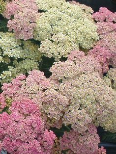 """Achillea Millefolium """"Tutti Fruitti Pineapple Mango"""" is a perennial that blooms summer to early autumn. Full sun to partial shade. Trees And Shrubs, Flowering Trees, Beautiful Gardens, Beautiful Flowers, Pink Perennials, Achillea Millefolium, Pink Plant, Outdoor Landscaping, Dream Garden"""