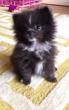 Adorable Black and White Fluffy Pomeranian Puppy