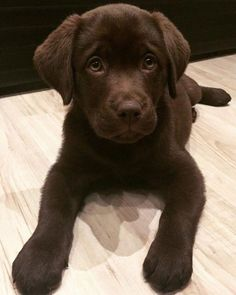 Chocolate Lab Puppy – Hunde – - Top Of The World Cute Dogs And Puppies, I Love Dogs, Pet Dogs, Pets, Doggies, Cutest Dogs, Dachshund Dog, Cute Little Animals, Cute Funny Animals
