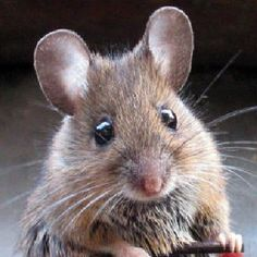 What's the most effective way to get rid of mice in the house?  Several great suggestions!