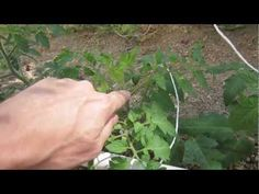 Pruning and removing suckers from Tomatoes, Cucumbers and Melons is a quick and easy process but very important to the plants health and ability to produce high quantity of large fruit. I show how to identify the growing tip or terminal bud, the fruiting stem and sucker. And how to remove the sucker and branches on the ground and when to remove ...