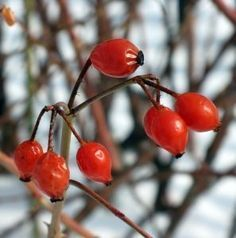 How to Make Rose Hip Oil