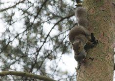 Durante 20 minutos, uma mãe esquilo transportou os quatro filhos de um local para outro, numa floresta britânica.