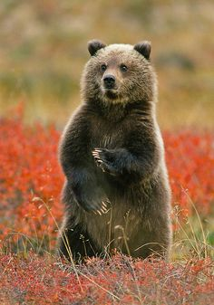 \'Kung Fu Grizzly Cub\' - photo by Gary Lackie, via Flickr
