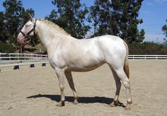 Smoky cream is a black horse with two copies of the cream gene, so the black version of a double dilute.