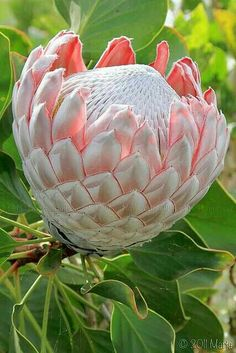 The Protea flower in this picture was grown in upcountry Maui Hawaii. Protea is both the botanical name and the English common name of a genus of South African flowering plants, sometimes also called sugarbushes (Afrikaans: suikerbos).