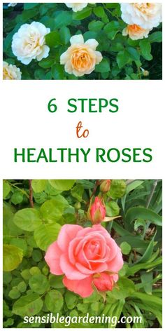 6 Steps to Healthy Roses with Sensible Gardening. Roses need not be that difficult to grow. Following a few basic steps will get you on your way to beautiful blooms.