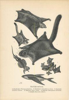 1890 Brehm Flying Squirrel Fish Frog Lizard Antique Engraving Print G Mutzel Flying Lemur, Flying Squirrel, Antique Prints, Vintage Prints, Rainforest Animals, Animal Art Prints, Tree Frogs, Zoology, Old Antiques