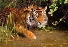 The royal state of Rajasthan is a safe abode for a wide variety of wildlife. It is home to different exotic wildlife sanctuaries, providing shelter to the various endangered species of birds and animals. Wildlife of Rajasthan attracts nature lovers and wildlife enthusiasts from all around the world.
