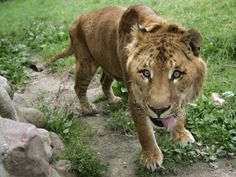 The largest cats on earth, ligers like this one are the offspring of a male lion and female tiger.