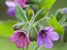 V dubnu až květnu vyrazte do lesa. Proč? Plicník lékařský, tedy první rostlina, která kvete na začátku jara, vás zbaví nejen nachlazení a potíží s dýcháním.