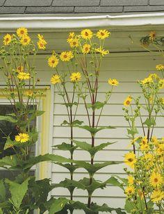 Cup Plant (Silphium perfoliatum)- Cup plant makes an unmistakable presence in large rain gardens & moist meadow plantings. Rain Garden, Garden Oasis, Herbaceous Perennials, Landscaping Plants, Native Plants, Shade Garden, Garden Projects, Evergreen, Habitats