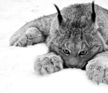 Inspiring image animal, black and white, cat, cute, eyes, fluffy, fur, lynx, nature, paws, photography, snow #254986 - Resolution 828x483px - Find the image to your taste