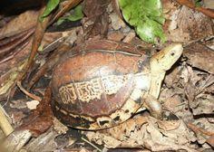 Timber Wood Turtle