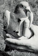 Pigeon with message capsule and harness. In 1915, at the start of the First Great War, two Pigeon Corps were established on the Western Front, consisting of 15 pigeon stations each with 4 birds and a handler. The Pigeon Corps was so successful that further birds were recruited and the service expanded considerably. By the end of the war the Pigeon Corps consisted of 400 men and 22,000 pigeons in 150 mobile lofts.