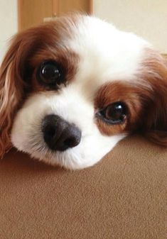 All About Cavalier King Charles Spaniel Personality Cavalier King Charles Spaniel, King Charles Puppy, Cute Funny Animals, Cute Baby Animals, Spaniel Puppies, Cocker Spaniel, Poodle Puppies, Cute Dogs And Puppies, Doggies