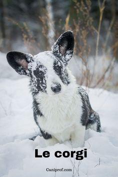 Le Corgi est l'un des plus petits chiens de berger.C'est aussi la race de chien préférée de la reine d'Angleterre, s'il vous plaît !Il existe deux variétés de Welsh Corgi : le Pembroke et le Cardigan qui ne formaient à l'époque qu'une seule et même race. Welsh Corgi Pembroke, Cardigan Welsh Corgi, Animals, Small Dogs, Dog Breeds, Corgi Dog, Companion Dog, Animales, Animaux