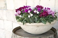 Cyclamen Care With the proper care, cyclamen will flower for months at a time, allowing for a pop of color and classic beauty in the home throughout the winter. Winter Plants, Winter Flowers, Winter Garden, Indoor Flowering Plants, Indoor Flowers, Garden Plants, Cyclamen Care, Best Indoor Trees, Indoor Planters