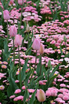 pink tulips and bellis perennis