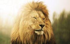 Beautiful Lion mane desktop background wallpapers free download ...