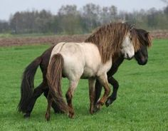 Iceland horses You can also consider BB creams as a tinted moisturizer. Most Beautiful Horses, All The Pretty Horses, Animals Beautiful, Grulla Horse, Dun Horse, Wilde Mustangs, Icelandic Horse, Majestic Horse, Horse World