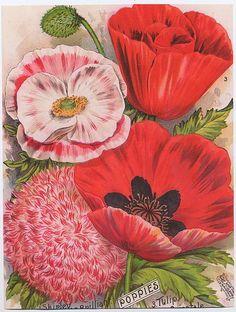 Vintage Seed Packet ~ Vicks, Poppies