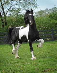 Dream Gait's Bizkit - Baroque Pinto Friesian stallion